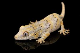 Crested Gecko Shedding Behavior by Keeping Gargoyle Geckos