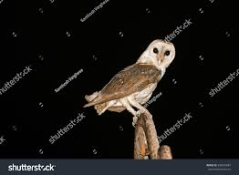 Barn Owl Isolated On Black Night Stock Photo 296043887 - Shutterstock Black Barn Owl Oc Eclipse By Pkhound On Deviantart Closeup Of A Stock Photo 513118776 Istock Birds Of The World Owls This Galapagos Barn Owl Lives With Its Mate A Shelf In The Started Black Paper Today Ref Paul Isolated On Night Stock Photo 296043887 Shutterstock Stu232 Flickr Bird 6961704 Moonlit Buttercups Moth Necklace Background Image 57132270 Sd Falconry Mod Eye Moody