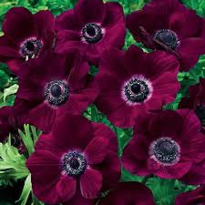 poppy anemone burgundy brecks