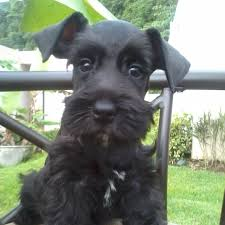 Do Giant Schnauzers Shed by 14 Best Giant Schnauzers Images On Pinterest Schnauzers Giant