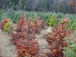 Fraser Christmas Tree Care by Phytophthora Root Rot Of Christmas Trees U2013 Wisconsin Horticulture