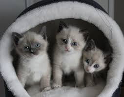 snowshoe cat snowshoe cat breed information and cat breed pictures