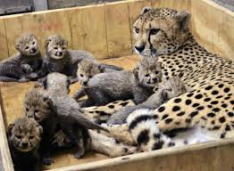Wildlife Safari Cheetah Gives Birth To Eight At St. Louis Zoo ... Cheetah Trucking Best Image Truck Kusaboshicom The Final Aessments For Tax Year 2017 And Said Are To Kristine Ripley Inside Sales Codinator Transportation Reduce Your Logistics Fleet Operating Costs By 10 30 Van Eerden Outdoors 23 Photos Productservice Tsi 5gallon Tire Air Bead Seater Steel Tank Model Ch5 Cheetah1express Cheetah1express Cheetah Competitors Revenue Employees Owler Company Profile Systems Home Facebook Gooseneck Trailer Real Manufacturer Chassis Mod American New Container Youtube