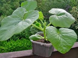 Fertilizer For Giant Pumpkins by Full Choice Of Containers For Plant Growth Planetfuture Willem