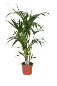 kentia palme ca 120 cm howea forsterian