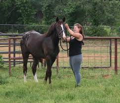 Best Horse Shedding Blade by Drafts With Dots The Story Of How I Got Kicked In The Head