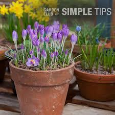 pot up bulbs now for blooms garden club