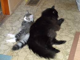 forest cat vs maine coon big forest cat twinkle kitty