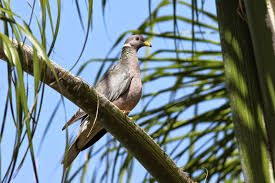The Backyard Birder: Band-tailed Pigeons Are Large But Not In Charge A Tame Pigeon In Our Back Yard Youtube 378 Best Pigeons Doves Images On Pinterest Beautiful Birds Hd Big Dove Pigeons Doves White Gray Eating Seed Backyard Flock Of Bandtailed Cramming Into Bird Feeder My First Backyard Chickens Building Loft For New Need Info Faest Sprinter Racing Modena Food And Profit Cooldesign Backyard Architecturenice Busy Their Foods My Help Me Identify The Gender This