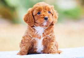 Do Cavapoos Shed A Lot by Cavoodle Puppies For Sale Chevromist Kennels Puppies