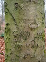 100 Fagus Trucks Common Beech Tree Sylvatica Close Up Of Bark Warwickshire
