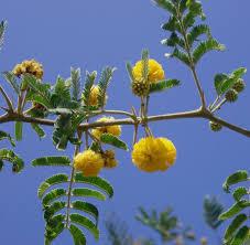 Christmas Tree Saplings Ireland by Acacia Farnesiana Vachellia Rare Mimosa Tree Bonsai Aroma Bush