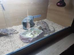 Bearded Heat L Timer by Baby Bearded Reptiles For Sale In Kent Preloved