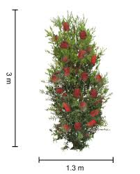 SlimTM Callistemon Tree Height Guide