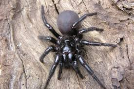 Remains Of The Day Spiders by Shocking Moment Tarantula As Big As A Tortoise Terrifies Brit