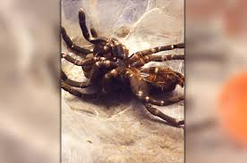 time lapse video shows incredible moment tarantula sheds its skin