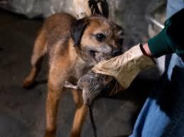 un chien est il efficace contre des rongeurs sos rongeurs