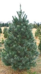 At Our Family Oriented Farm We Have Been Providing Customers With Choose And Cut Christmas Trees For The Last 50 Years Visit From