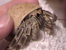 Do Hermit Crabs Shed Their Legs by Image Detail For Painted Hermit Crab Shells In Sports Ball