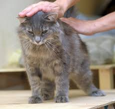 Excessive Hair Shedding In Cats by What Dry Food Does To Your Cat U0027s Fur Feline Nutrition Foundation