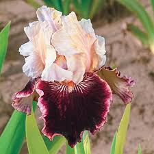 1354 best iris images on iris flowers bearded iris