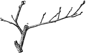 Twig of Quince