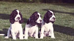 My Dog Stinks And Sheds A Lot by How Much Do English Springer Spaniels Shed Petcarerx
