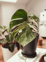 monstera pflege so wächst die zimmerpflanze optimal und