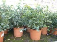 eucalyptus gunni gunnii busch kaufland de