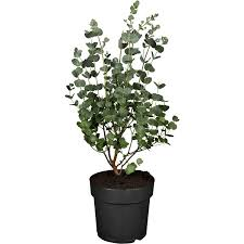 winterharter eukalyptus azura höhe ca 25 30 cm topf ca 2 l eucalyptus