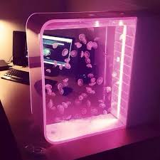 moon jellyfish in pulse 80 jellyfish tank with pink led lights