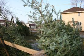 Types Of Christmas Trees With Sparse Branches by Christmas Trees Minnesota Prairie Roots