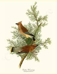 Vintage Illustration Of Cedar Waxwing Bird 8x10 James Audubon Birdprint Birdart