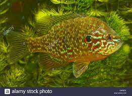Pumpkin Seed Sunfish Pictures by Pumpkin Seed Sunfish Pumpkinseed Lepomis Gibbosus Male 110 Mm