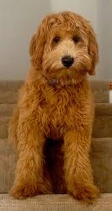 St Mark Pumpkin Patch Mcallen Tx by 9 Best Favorite Dogs Images On Pinterest Animals Mini
