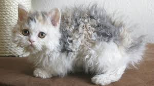 haired cat brace yourself curly haired cats are a thing photos