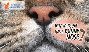 cat runny nose find out why your cat has a runny nose the meow thing