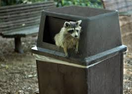 Get Rid Of Raccoon Archives - ILLIANA WILDLIFE SERVICES Service Wildlife Command Center Mo How To Get Rid Of Raccoons Youtube With A Motion Activated Sprinkler My To Of Raccoons Video Roof Pool Attic Yard 42 Best Raccoon Pictures Images On Pinterest Wild Animals Search For A Home Removal Homes All City Animal Trapping November 2010 Tearing Up Your Yard Theyre After The Grubs 3 Easy Ways Wikihow In Warning Signs Solutions Problems Precise Termite Baylcariasis The Tragic Parasitic Implications In