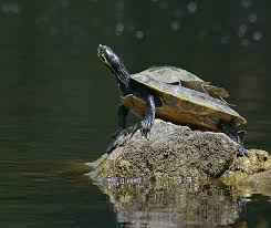 how do turtles shed their shells