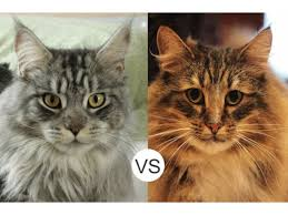 forest cat vs maine coon maine coon vs forest cat assistedlivingcares