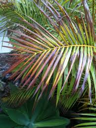 golden palm in pots golden canes salty winds and heat or much water