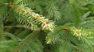 Christmas Tree Species by Nordman Fir V Spruce Christmas Tree Youtube