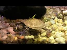 best 25 turtle tank setup ideas on pinterest