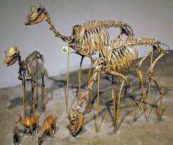 Agate Fossil Beds National Monument by Stenomylus Hitchcocki Fossil Camels Harrison Formation U2026 Flickr