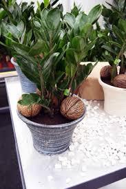 die glücksfeder ist eine tolle pflanze für wohnzimmer und co