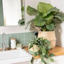 die calathea pflegetipps für deine lieblingszimmerpflanze