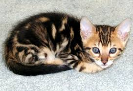 renal failure in cats crf chronic renal failure in cats feline crf feline chronic