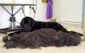 Do All Dogs Shed Fur by Dogs Shed Enough Hair To Make Another Dog