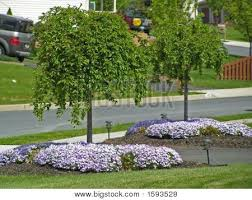 Picture Or Photo Of Dwarf Snowfountain Cherry Trees Planted On Either Side A Driveway With