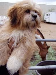 lhasa apso puppy shedding lhasa apso for sale ads free classifieds